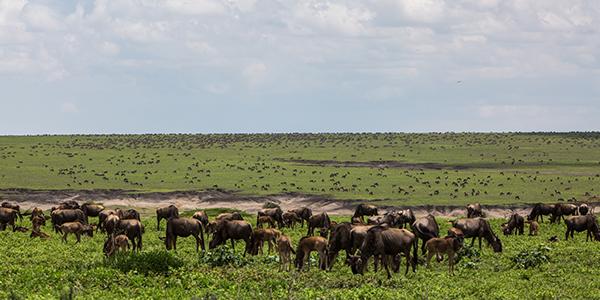 Wildebeest-migration-tours