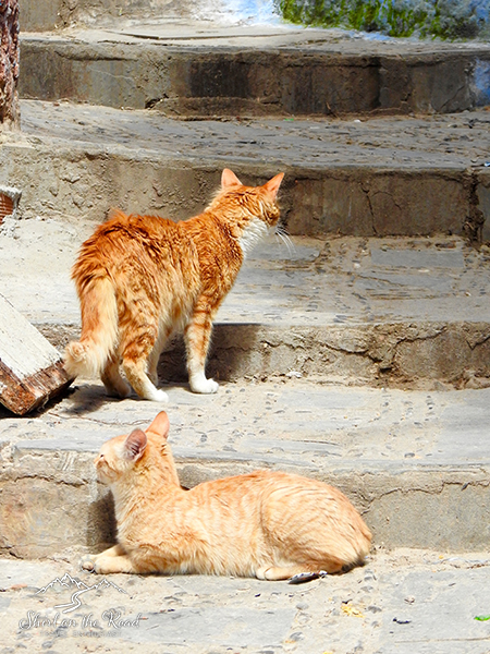 Cats-of-morocco_5