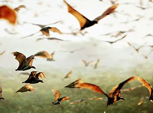 Zambia-bat-migration-kasanka